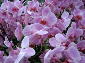 A Profusion of Orchids