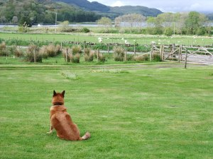 Rocky Eyeing the Sheep In Front of Cottage