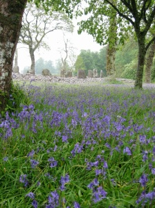 Bluebells Before Standing Stones - Dating from 3000 BC - in Kilmartin
